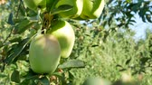 appelboom : Ruddy apples hang on a branch in the garden