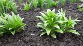 лилии : Bush of green lilium plant in flowerbed with wet ground in garden at spring