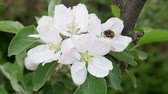 バズ : Bee collects nectar on the blossom apple tree flower on green background in spring