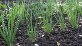 lauch : Green onions during ripening on farm garden. Home field with harvest. Vegetable plantation after the watering Videos