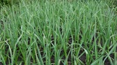 lauch : Fresh green garlic in field with wet ground. Natural spicy food ingredient. Ripe green garlic sprouts farm Videos