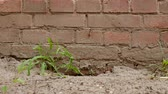bloc de pierre : Old dirty surface of red brick wall and green grass, sand and soil as texture or background Vidéos Libres De Droits