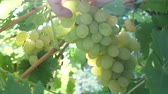 wijnbladeren : Farmers hands cutting white grapes with shears during wine harvest in bright light rays of sun. Check and collects ripe grape bunches on Vineyard. Organic food, nature and fine wine handmade concept