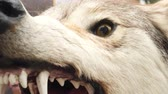 werewolf : Aggressive head of a stuffed wolf. Taxidermy or hunting trophies concept