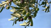 croata : Olive fruits on tree close up Stock Footage