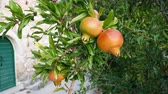 Organic pomegranate on tree in old village in Croatia motion view