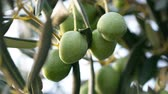 Green olive fruits ready for harvesting on plantation outdoor close up