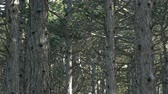 Close up motion view of mountain pine tree forest on sunny winter day