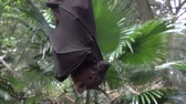 morcego : Large Malayan flying fox close-up in slow motion