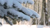 Snowfall in the forest, fir branch sways in the wind Vídeos