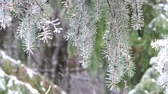 Snowfall in the forest. Fir branches covered with snow sway in the wind