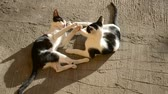 Cute Black And White Cats Playing Outdoor in a Sunny day