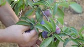 A lady catching fresh plums from a tree in the garden. Stock Footage
