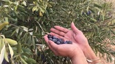улов : A female harvesting black olives manually  from a tree in a farm.