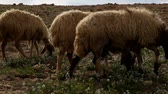 ovelha : sheep collect weed