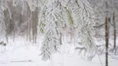 borovice : Snowy spruce branch swaying in the wind