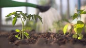 plant fertilizer : Planting the plants in the greenhouse Stock Footage