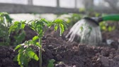 cultivo : Planting the plants in the greenhouse Stock Footage