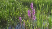 wetland : Flowers swaying in the wind near the river
