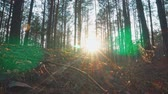 tűk : The sun through the trees in the forest. Dolly shot