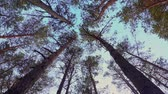 ボトム : Trunks and tops of trees against the sky