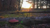 ladrão : Sunset in the spring forest Stock Footage
