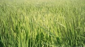 метелка : Rice panicle shaking in the wind Стоковые видеозаписи