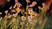 gerbera : bush daisies swaying in the breeze  at sunset Stock Footage