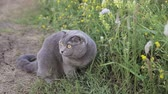 perceive : Cat of the British breed on green grass Stock Footage