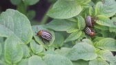 colorado potato beetle : Colorado potato beetle on potato leaves, reproduction and eating vegetables Stock Footage
