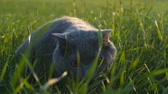 lavatório : A cat of British breed walks in a park on green grass in the sun at sunset