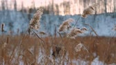 minimalismo : Wind Blowing Against Dried Reeds on a Winter sunny day.