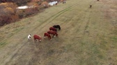 галоп : Aerial shot. Herd of horses in the autumn meadow by the river.