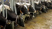 trough : Milking of cows. A lot of cows are standing still Stock Footage