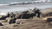 deniz yaşamı : Northern elephant seal (Mirounga angustirostris) is one of two species of elephant seal that lives in the eastern Pacific Ocean. Feeding grounds extend from northern Baja California to northern Vancouver Island. Stok Video