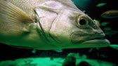 americanus : Stone bass, atlantic wreckfish, fish in aquarium Stock Footage
