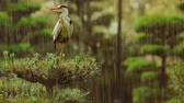 japão : Grey Heron on top of a tree waiting out a rainstorm (Ardea cinerea)