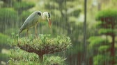divertido : Grey Heron on top of a tree waiting out a rainstorm (Ardea cinerea)