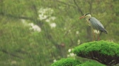 beleza na natureza : Grey Heron on top of a tree waiting out a rainstorm (Ardea cinerea)