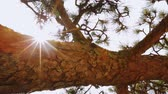 miniatura : Japanese pine tree (matsu) dolly shot.  Unique perspective from underneath with sun burst.