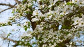 kwiaty : White dogwood tree branches blowing in the wind in spring