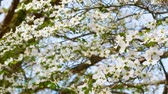 blooming : White dogwood tree branch moving in the wind in spring