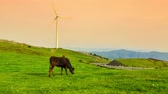 nabiał : Cows graze while the windmills turn. Time lapse clip at sunset