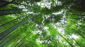 japão : Bamboo forest in Japan. Looking up at the canopy above while camera rotates