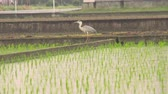 ryż : Japanese rice paddy tilt-up shot with large grey heron at the far end.
