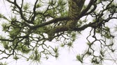 tronco : Dynamic moving shot underneath a Japanese pine tree matsu