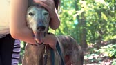 greyhound : Young woman petting her greyhound on a forest trail Stock Footage