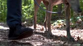 greyhound : Man walking his greyhound on a forest trail