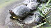 reed : Turtles family sunbathing