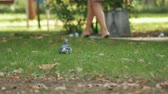 barış : Pigeon looking for food on the green grass